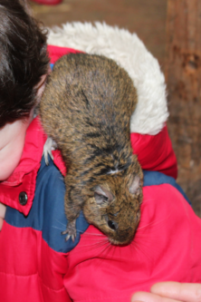 A degu in a boy's hood