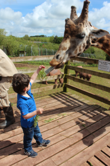 A boy feeds a giraffe at South Lakes Safari Zoo