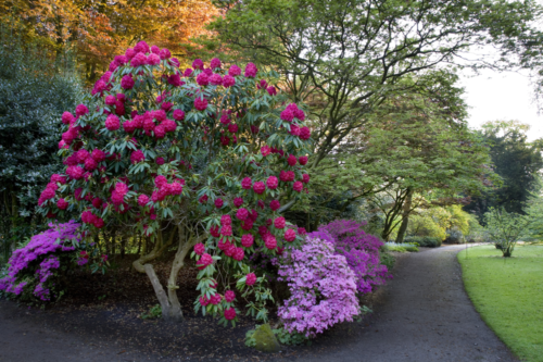 rhododendrons in bloom at Dunham Massey