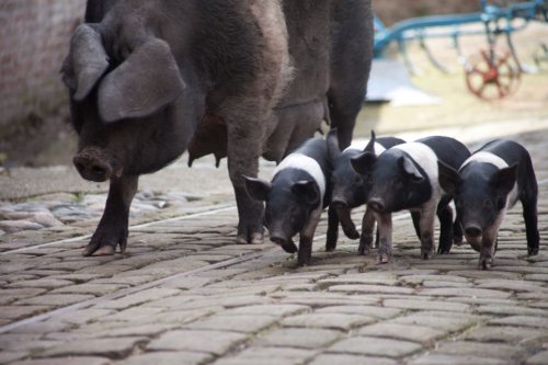 pigs and piglets walking at a farm