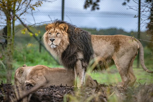 Male Iblis and female Kiburi Asiatic lions at Chester Zoo