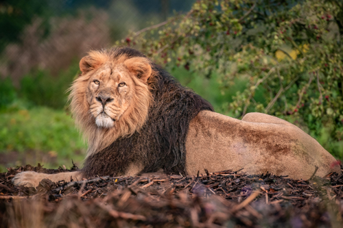 The UK's largest habitat for world's rarest lions opens at Chester Zoo