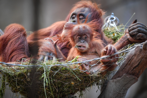 An orangutan and a baby orangutan in a hammock at Chester Zoo
