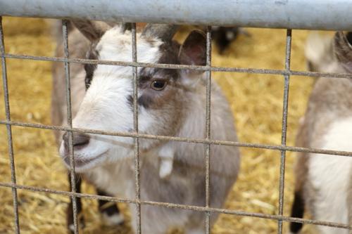A goat at Cockfields Farm in Oldbury