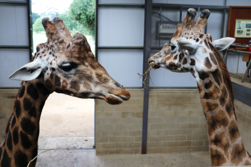 Two giraffe faces at Cotswold Wildlife Park and Gardens