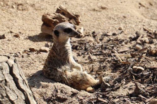 A meerkat relaxes at Cotswold Wildlife Park