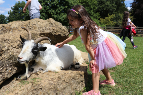 A girl pets a goat at CotsolA girl pets a goat at Cotswold Wildlife Park and Gardensd Wildlife Park and Gardens