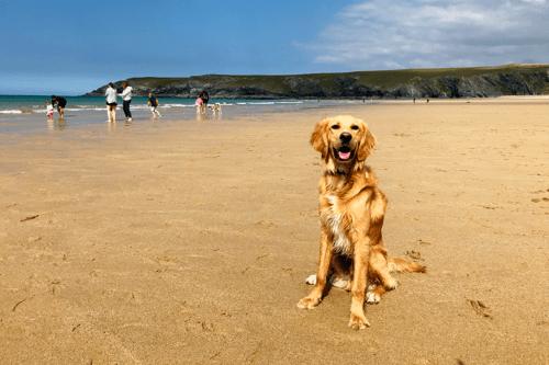 A dog on Holywell Bay beach