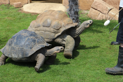 Two giant tortoises get fed at World of Crocodiles