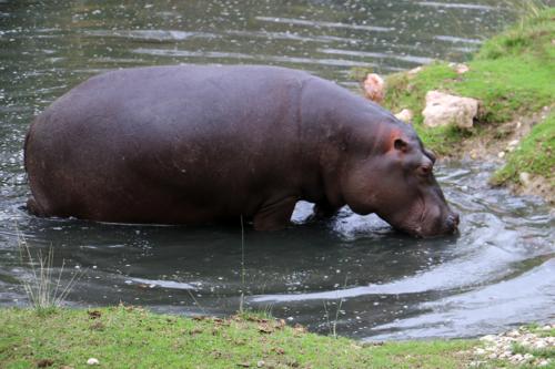 A hippo at Parco Natura-viva zoo