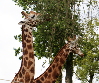 Two giraffes at Knowsley Safari Park