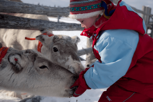 A child meets reindeers in Lapland