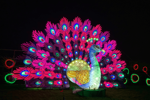 A peacock at Lightopia, Heaton Park, Manchester