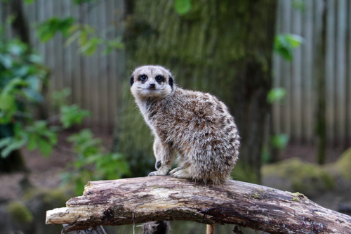 A meerkat at Knowsley Safari Park