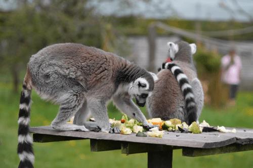 Lemurs eating at Peak Wildlife Park