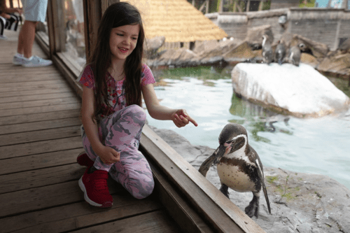 A girl interacts with a penguin at Peak Wildlife Park