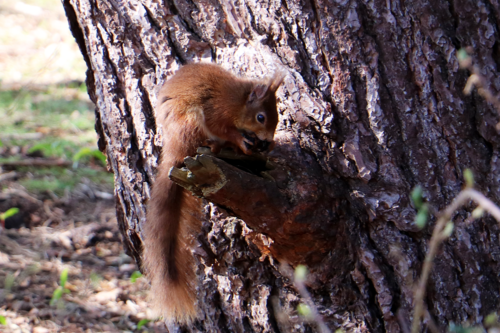A red squirrel we spotted on Brownsea Island