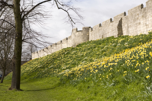 York city walls and daffodils
